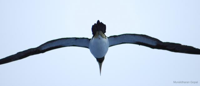 image 3482 of Brown Booby