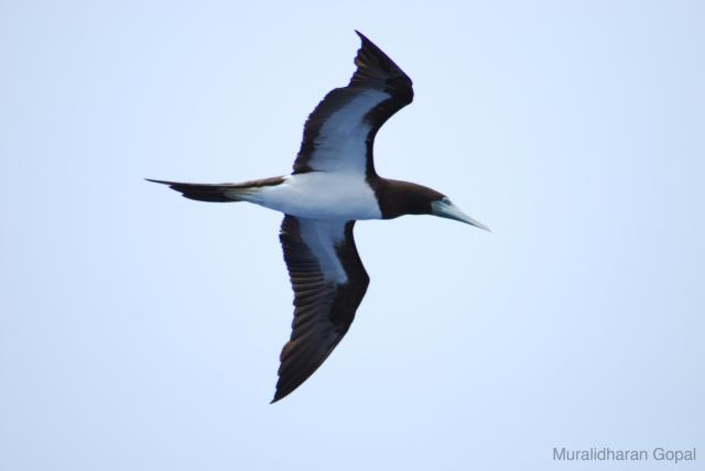 image 3481 of Brown Booby