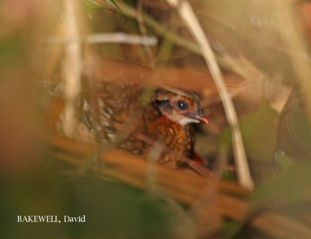 image 4041 of Red-breasted Hill Partridge