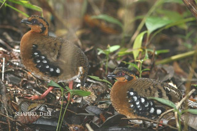 image 3271 of Red-breasted Hill Partridge