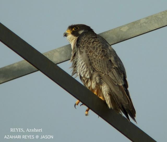 image 3346 of Peregrine Falcon