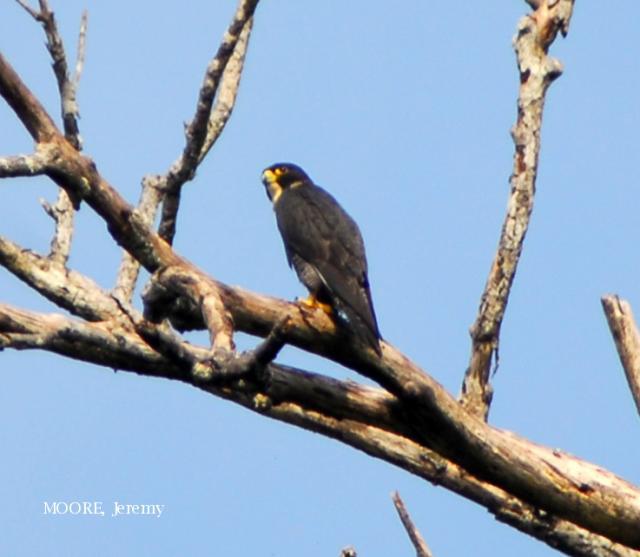image 4643 of Peregrine Falcon