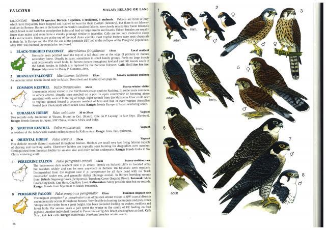 image 3262 of Peregrine Falcon