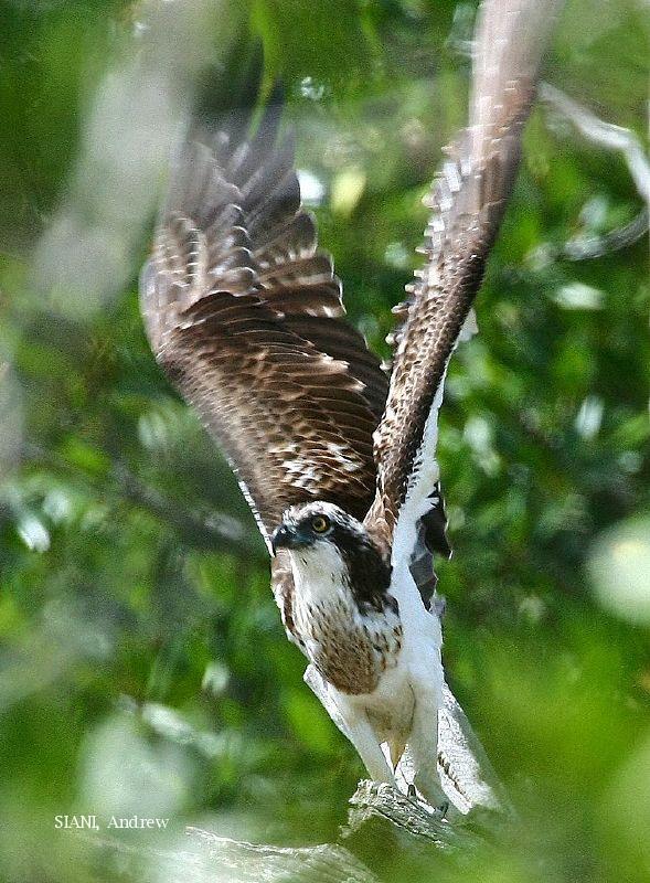 image 2954 of Osprey