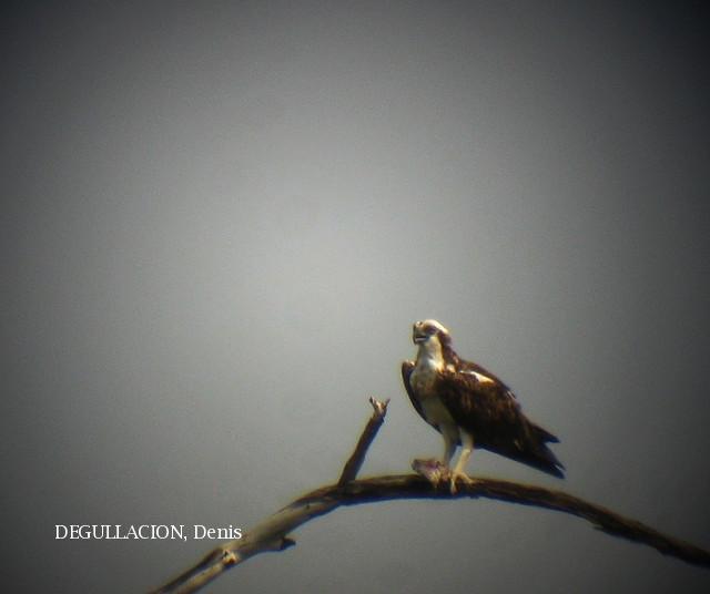 image 5815 of Osprey
