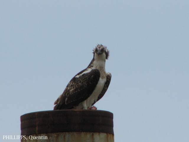 image 3277 of Osprey