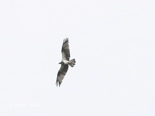 image 8064 of Osprey