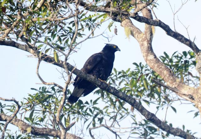 image 7867 of Oriental Honey Buzzard