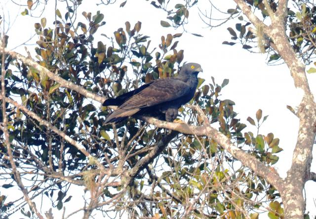 image 7868 of Oriental Honey Buzzard