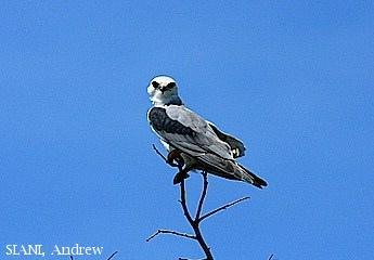 image 2955 of Black-winged Kite