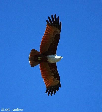 image 2957 of Brahminy Kite