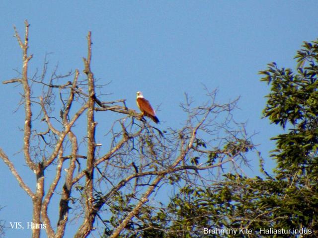 image 5492 of Brahminy Kite