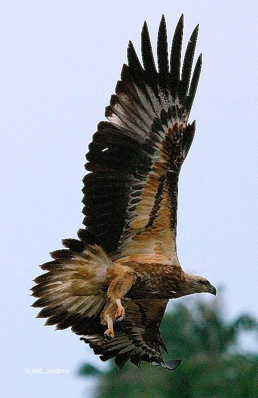 image 2960 of White-bellied Sea Eagle