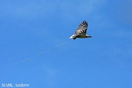 image 2958 of White-bellied Sea Eagle