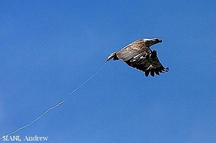 image 2962 of White-bellied Sea Eagle