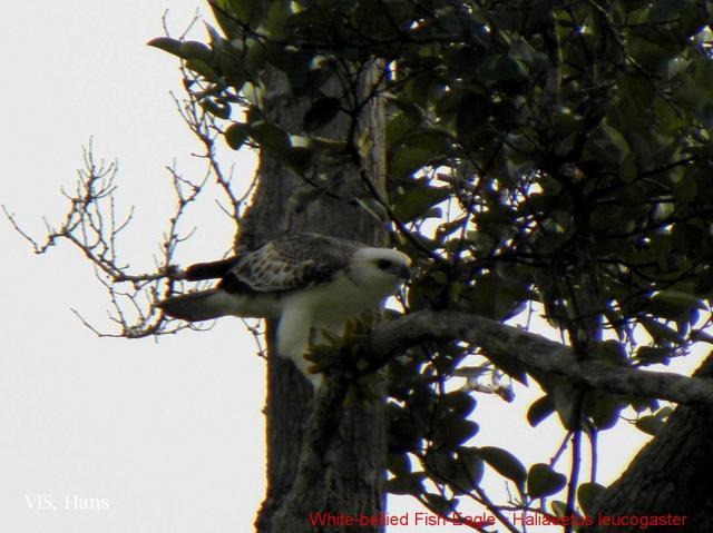 image 5493 of White-bellied Sea Eagle