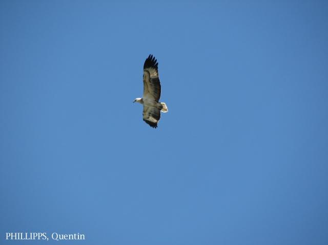 image 1526 of White-bellied Sea Eagle