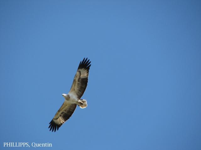 image 1527 of White-bellied Sea Eagle