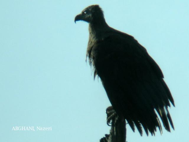 image 4733 of Grey-headed Fish Eagle
