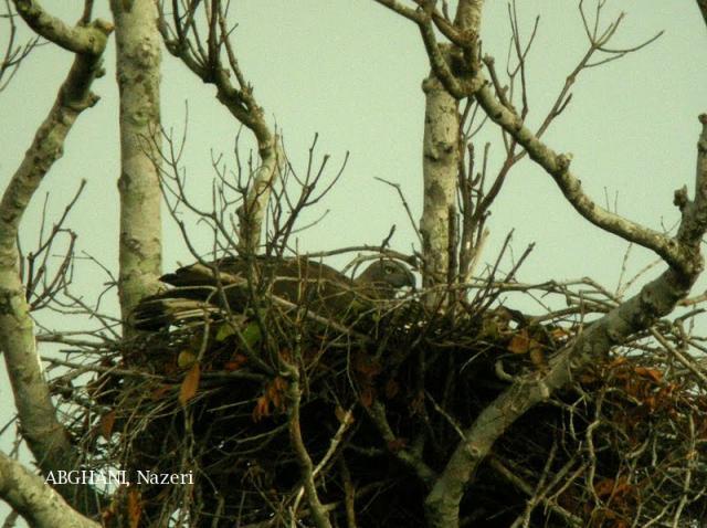 image 4732 of Grey-headed Fish Eagle