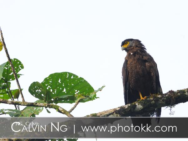 image 5068 of Crested Serpent Eagle