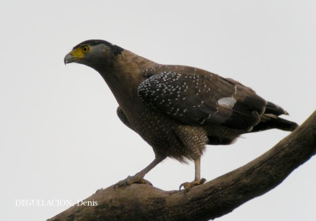 image 5790 of Crested Serpent Eagle