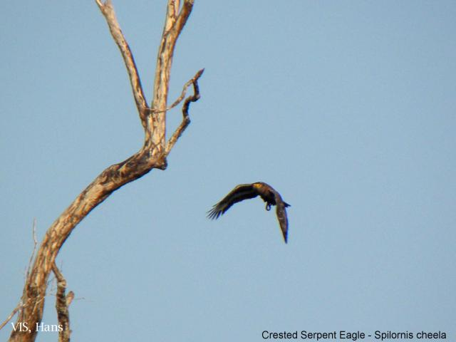 image 5494 of Crested Serpent Eagle