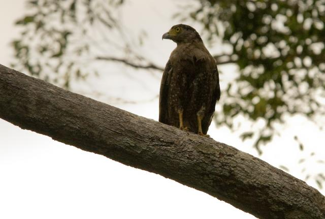 image 5036 of Crested Serpent Eagle