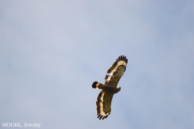 image 4694 of Crested Serpent Eagle