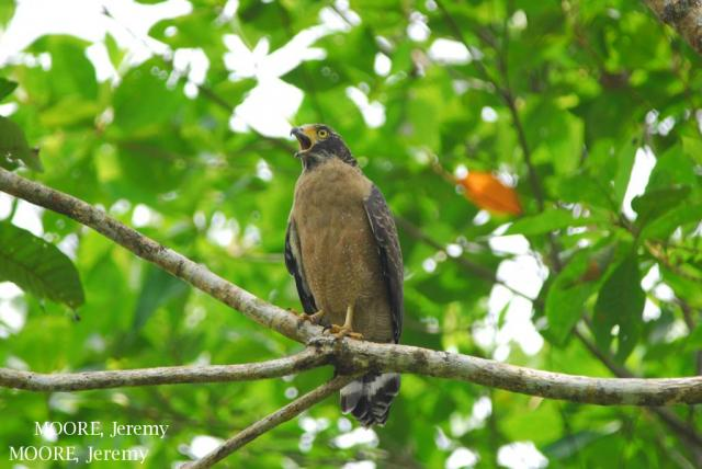 image 5465 of Crested Serpent Eagle