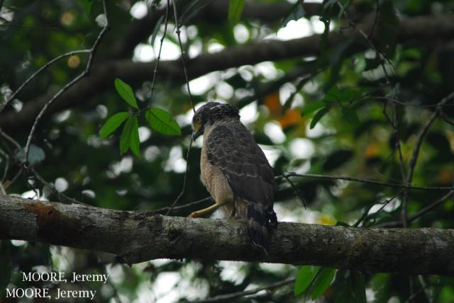 image 5464 of Crested Serpent Eagle