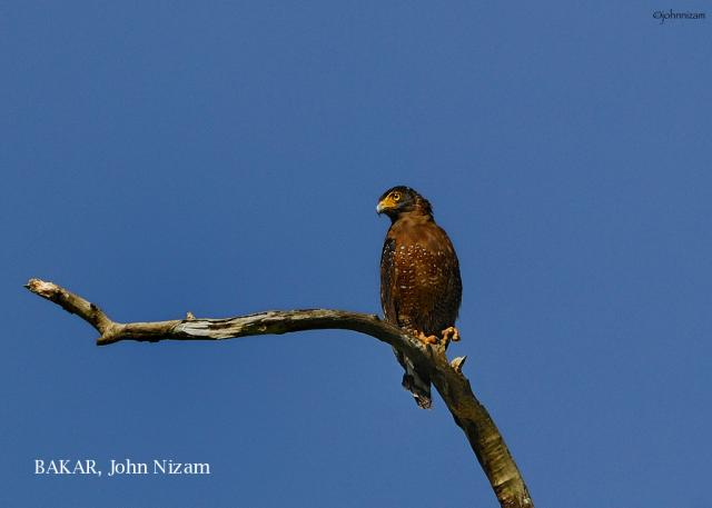 image 5894 of Crested Serpent Eagle