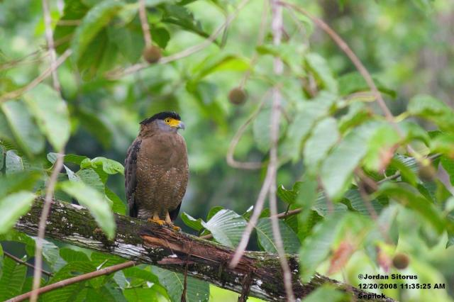 image 3377 of Crested Serpent Eagle