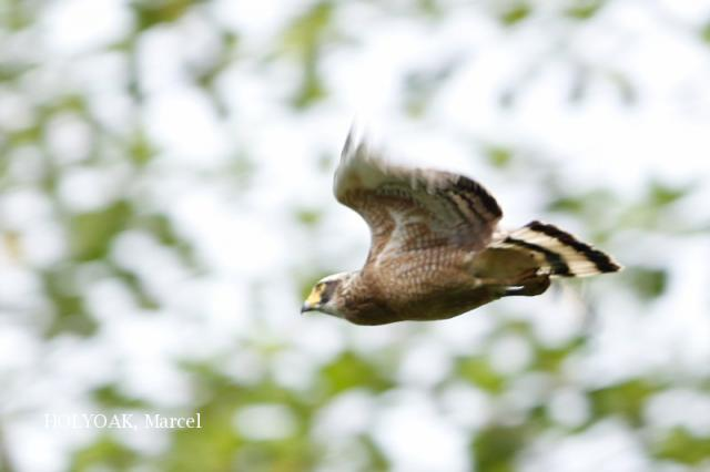 image 1884 of Crested Serpent Eagle