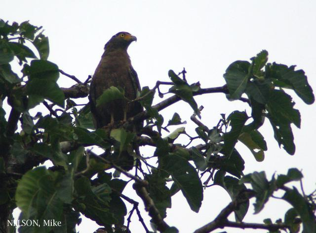 image 5181 of Crested Serpent Eagle