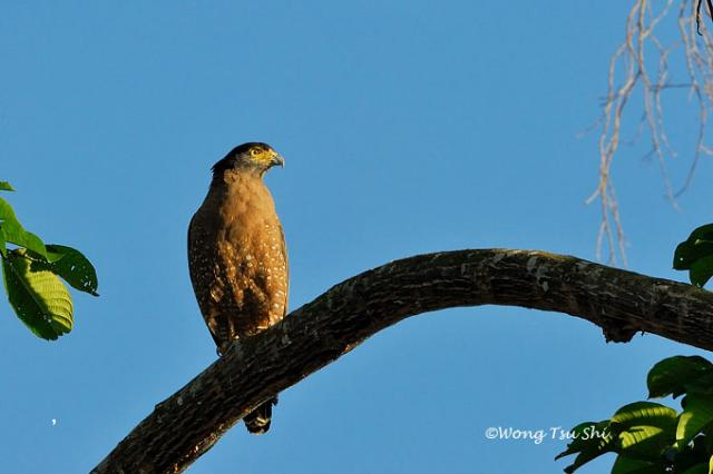 image 1250 of Crested Serpent Eagle