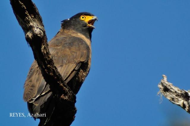 image 7260 of Kinabalu Serpent Eagle