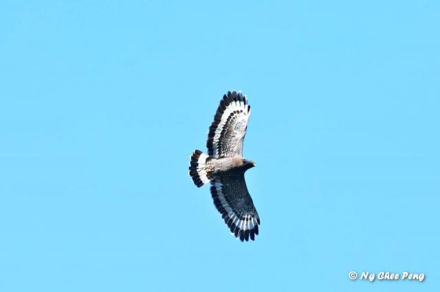 image 6963 of Kinabalu Serpent Eagle