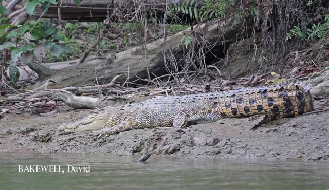 image 4371 of Kinabatangan River