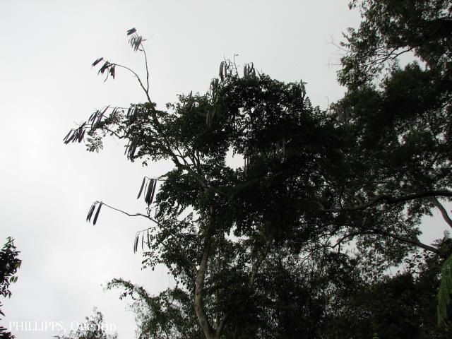 image 3818 of Poring, Kinabalu Park