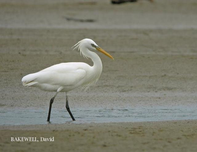 Chinese Egret At Brunei By Bakewell David Borneo Bird Images